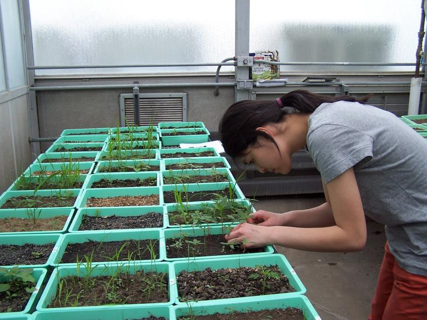 undergraduate student working in greenhouse