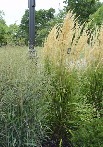 Feather reed grass for Tall feather grass