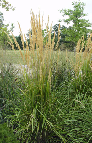Feather reed grass for Common ornamental grasses