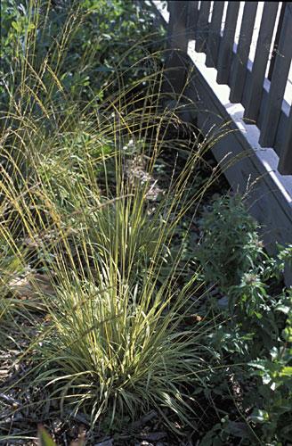 Purple moor grass for Tall purple ornamental grass