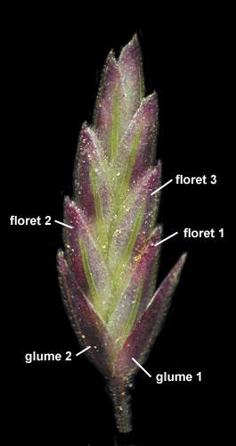 Eragrostis Spectablilis Spikelet